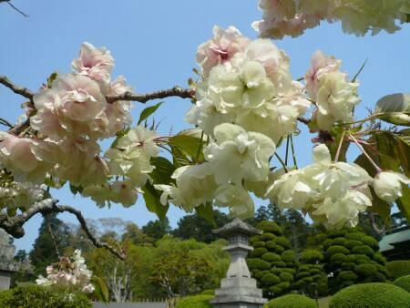 ウコン桜2.jpg