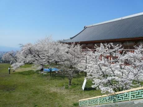 雲上殿の桜2.jpg