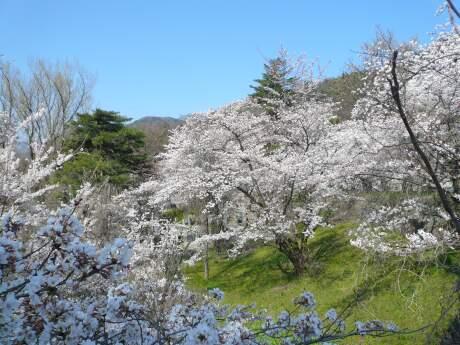 雲上殿の桜4.jpg