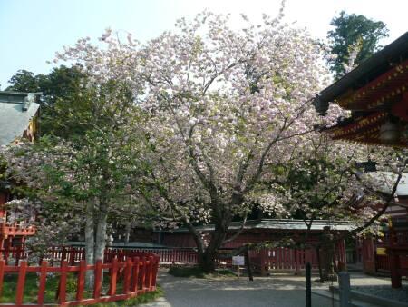 塩竈桜.jpg