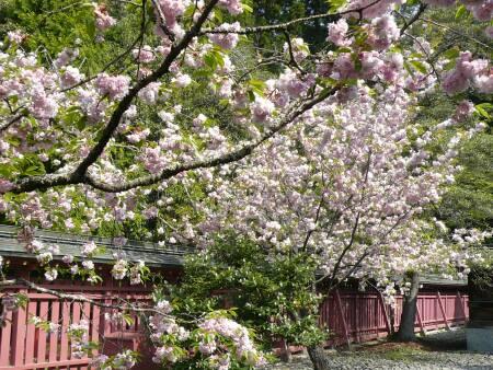 塩竈桜2.jpg