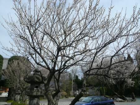 河越館跡 梅 200902.jpg