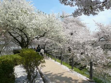 霞城公園の桜3.jpg