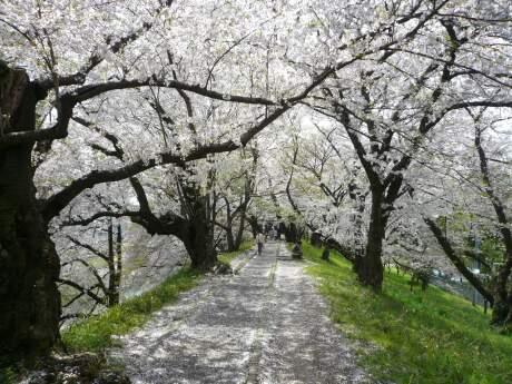 霞城公園の桜4.jpg