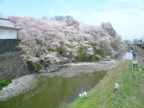霞城公園の桜1.jpg