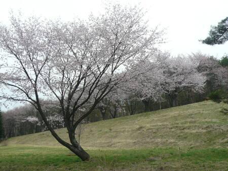 岩手県県民の森の桜4.jpg