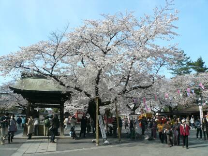 喜多院の桜3.jpg