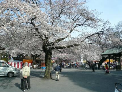 喜多院の桜4.jpg