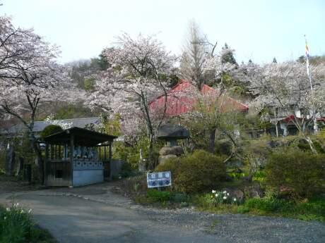 慶福寺の桜4.jpg