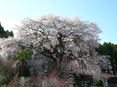 光厳寺の枝垂れ桜