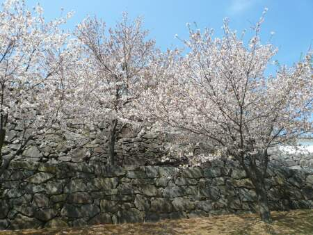 甲府城の桜2.jpg