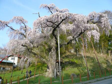 紅枝垂地蔵桜2.jpg