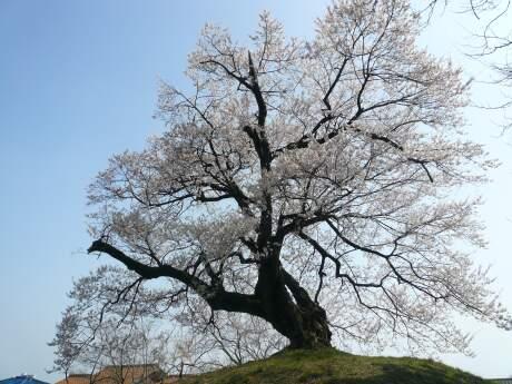 行人塚の桜3.jpg