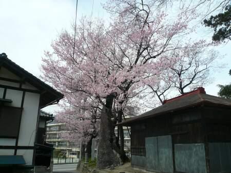 桜森のヒガンザクラ2.jpg