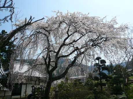 西楽寺の枝垂れ桜2.jpg