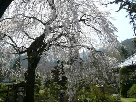 西楽寺の枝垂れ桜3.jpg