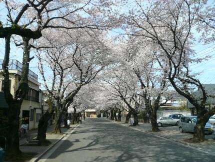 川越女子高校前の桜並木3.jpg