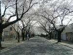 川越女子高校前の桜並木 大.jpg