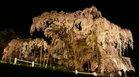 滝桜 ライトアップ2.jpg