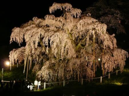 滝桜 ライトアップ3.jpg