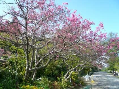 中城城の桜