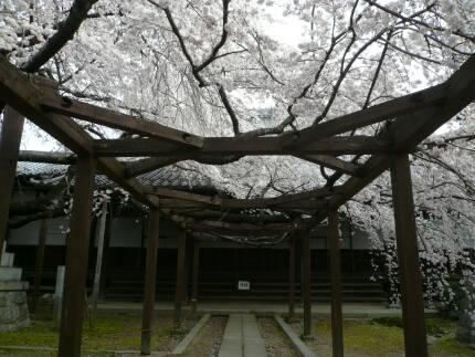 長誓寺の枝垂れ桜3.jpg