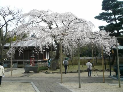 東漸寺の桜2.jpg