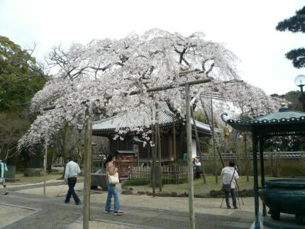 東漸寺の桜3.jpg