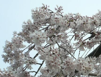 東漸寺の桜5.jpg