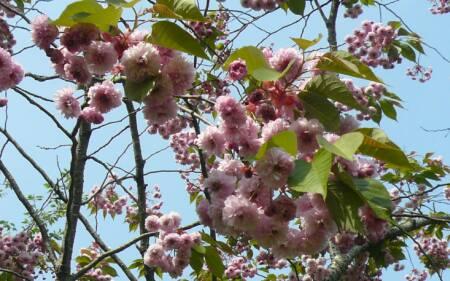 梅護寺数珠掛桜2.jpg