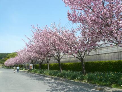 白河フラワーワールド桜2.jpg