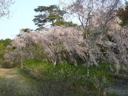 半田山自然公園の桜3.jpg
