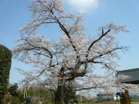 不動寺の桜2.jpg