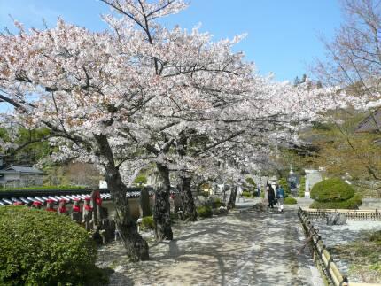 福聚寺の桜2.jpg