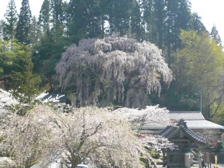 福聚寺の桜1.jpg