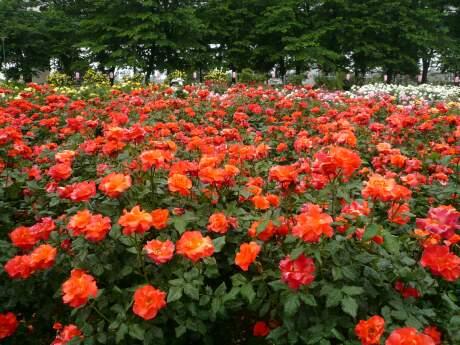 与野公園のバラ2.jpg
