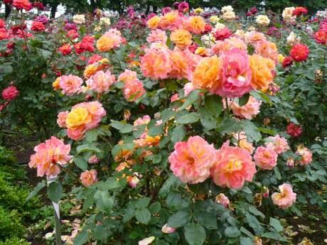 与野公園のバラ3.jpg