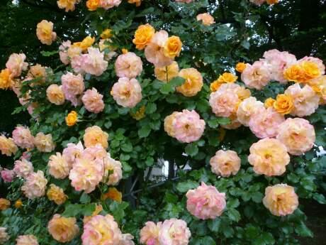 与野公園のバラ4.jpg