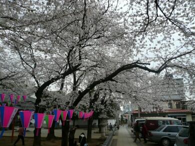 蓮馨寺の桜