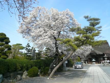 曼荼羅寺の桜1.jpg