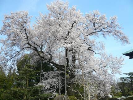 曼荼羅寺の彼岸桜2.jpg