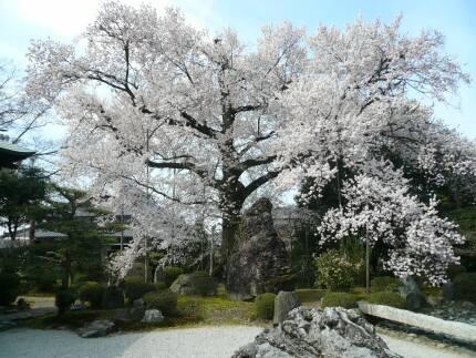 曼蛇羅寺の彼岸桜1.jpg