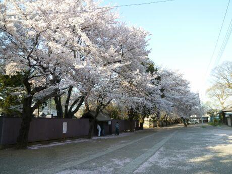 勝願寺の桜2.jpg