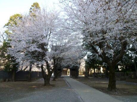 勝願寺の桜1.jpg