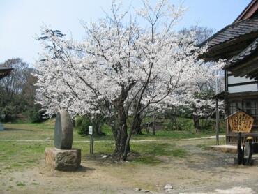 五智国分寺 桜