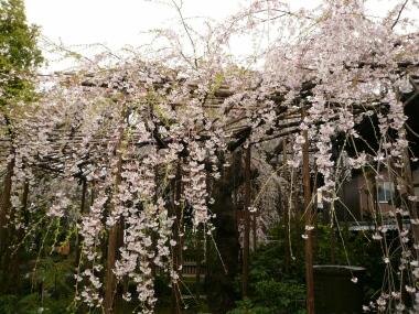 玉蔵院の桜