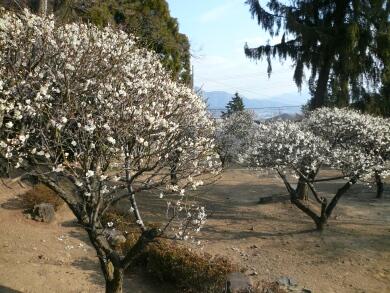 向嶽寺の梅