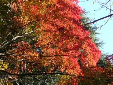 静嘉堂緑地 紅葉