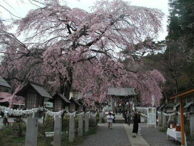 楽翁桜1.jpg