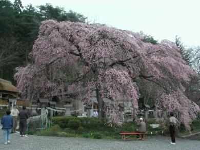 楽翁桜2.jpg